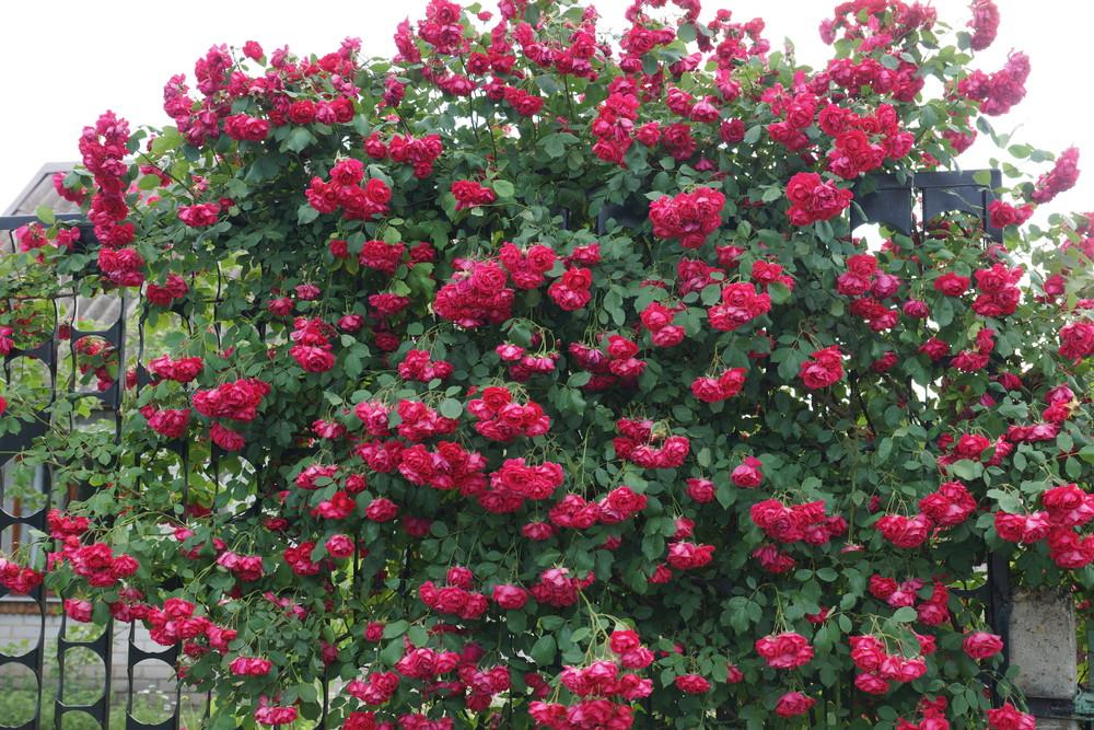 Производителя, цветы роза плетистая купить украина