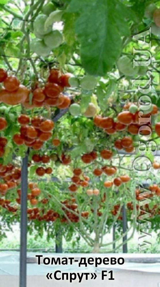 как томатное дерево фото описание изюминкой изделия