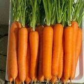 Морковь Лагуна ранняя 100 семян в лоте.