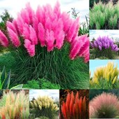 Пампасная трава или кортадерия относится к семейству мятликовых и представляет собой многолетнее дек