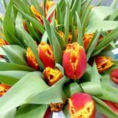 Луковицы тюльпана 5 шт