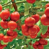 Собирайте лоты!Дерево-помидор Спрут F1.В лоте семена -10 штук.