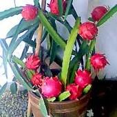 Питахайя или Дракон фрукт- экзотическое растение
