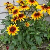 Цветы  семена 100 штук.