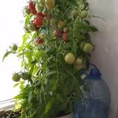 Семена комнатных помидор мои фото этого года