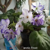 Продам детки фиалок arctic frost и северное сияние