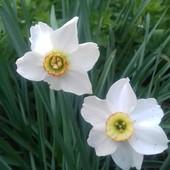 Лот#7 - 0,5 л луковиц Нарцисса Recurvus ароматный!