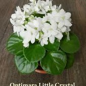 Фиалка Optimara Little Crystal (полуміні)- велика дітка