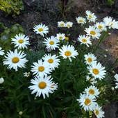 Королевская ромашка, крупный цветок, цветёт 2 раза за сезон.Фото все свои!