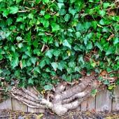 Плющ садовый вечнозеленый, лот 5 отростков + подарки.