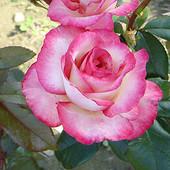 Черенки плетистых роз-10 черенков в лоте!Пора сажать!