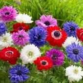 Анемоны .Микс сортов и цветов. Можно высаживать в открытый и закрытый грунт!