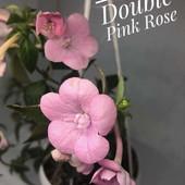 Achimenes 'Double Pink Rose