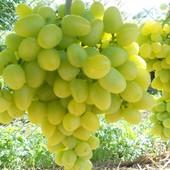 Виноград Настя( Аркадия)-1 саженец