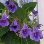 Тидея синяя - комнатное неприхотливое оригинальное растение