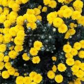 Хризантеми середньорослі 5 сортів та інші багаторічники