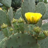Морозостойкий кактус опунция. Лот фото 2. Ушко с кучей корней.
