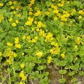 Вербейник монетчатый ,почвопокровный или Вероника дубравная(одно растение на выбор)