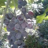 """Виноград """"Лидия крупноплодная""""!!! Продаются укорененные зеленые саженцы. Фото мои!"""