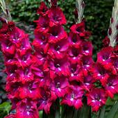 Пять сортов крупноцветковых гладиолусов ( один на выбор) можно докупить