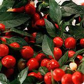 """Комнатный декоративный перец """" Вишневый праздник"""". Урожайный, остренький, можно употреблять в пищу."""