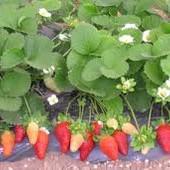 Ремонтантная крупноплодная высокоурожайная земляника - непревзойденный вкус! С весны до мороза!