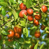 Унаби -дерево молодости саженец