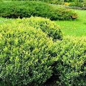 Самшит- идеальный кустарник!!! Живая изгородь! Лот-1 куст