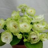 ЛЕ-Пышечка -вкорінений листочок