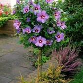 """Гибискус сортовой """"Woodbridg""""– невероятно красивое цветочное дерево.Однолетний саженец в стаканчике"""
