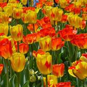 Крупные жёлто-красные и красные сортовые тюльпаны.В лоте 30луковиц( 5 больших луковицы+ детки)