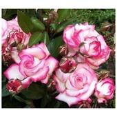Роза плетистая Либретто-1 саженец