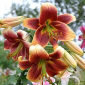 Лилия Роберт Свансон – многолетнее луковичное растение. Гибрид из группы ОТ-гибридо