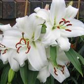 Луковица лилии Casa Blanca.Сильно ароматная,ориентальная лилия.