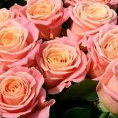Роза чайно-гибридная Мисс Пигги -1 саженец