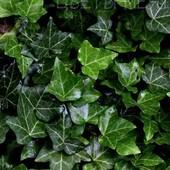 Плющ садовый вечнозеленый.5 черенков для укоренения