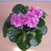 Фиалка Rococo Rose.Полумини. Укоренённый лист с крупной деткой.