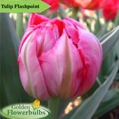 Собирайте лоты!!Тюльпан Flash Point-махровый раний многоцветковый!!