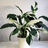 Супер дорогой и супер редкий спатифиллум Пикассо по доступной цене, 1 растение в стаканчике
