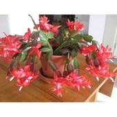 Рождественник красный! Продаётся цветущее растение (фото 2-3)!!!
