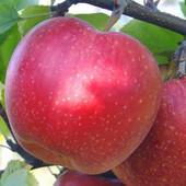 """Вкусная- """" Декоста"""" ,не высокорослая зимняя яблоня ,отличная корневая,двух годичный саженец."""