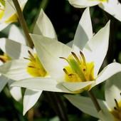 Собирайте лоты!! Тюльпан Ботанический Turkestanica.Очаровательный экзотический тюльпан.В лоте 3 луко