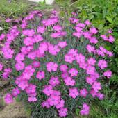 """Гвоздика""""Садовая""""(цветок Зевса) ароматная красавица.Семена свежесобранные!!!"""