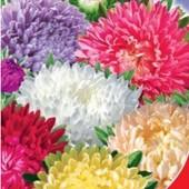 Астра Маленькая Королева смесь. Карликовый сорт с множеством цветочков до 20 шт на кусте.