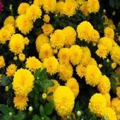 Семена Хризантемы белой или желтой на выбор!