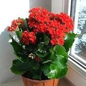 """Суккулент Каланхоэ """"Блоссфельда"""" Продаваемое растение (фото 2) зацветает, высота 37см!!!"""