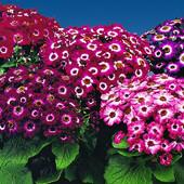 Цинерария смесь. Красивоцветущий комнатный цветок. Семена.