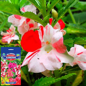Бальзамин садовый двухцветный Камелия смесь ( 1г)