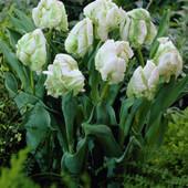 Собирайте лот!!!Сделайте себе подарок к 8 марта!! Тюльпан White Parrot (Белый попугай) .