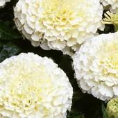 Семена Бархатцев Эскимо. Махровые, крупные цветы с ванильно- кремовым окрасом.